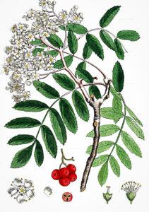 šermukšnis botanikoje