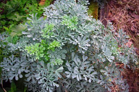 Žalioji rūta (augalas)