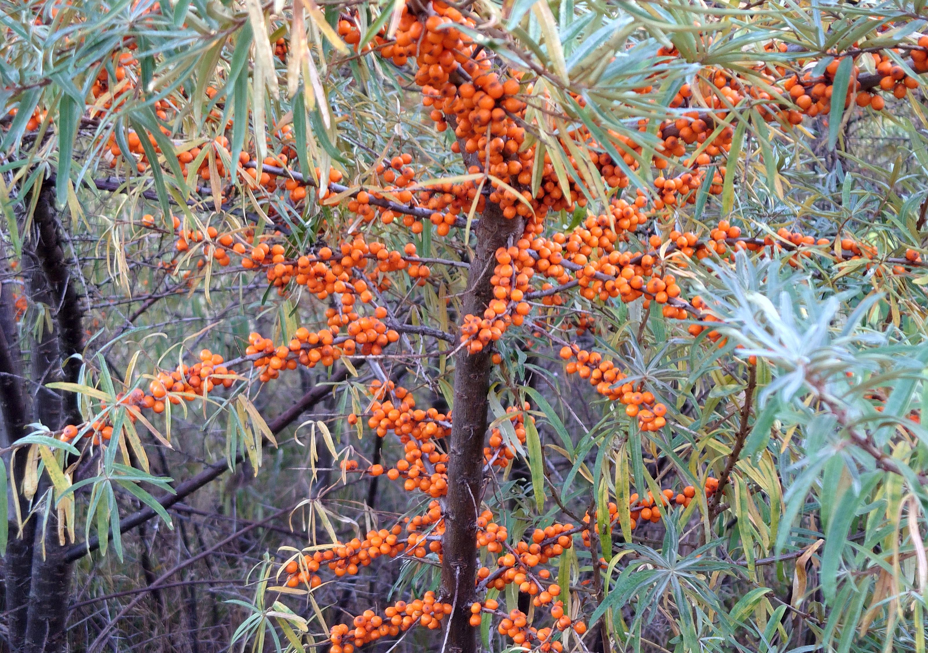 šaltalankio augalas