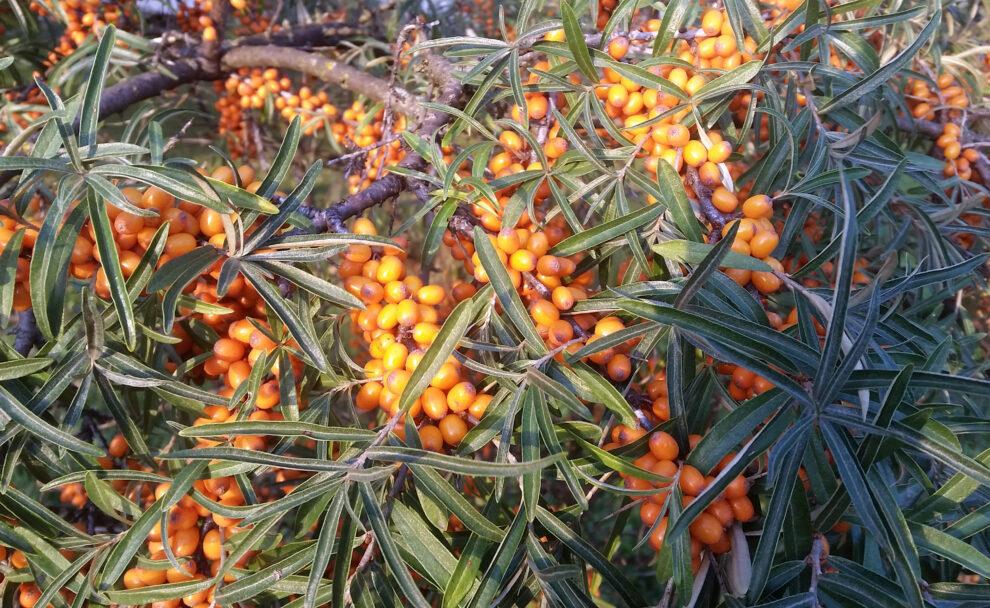 Šaltalankis augalas