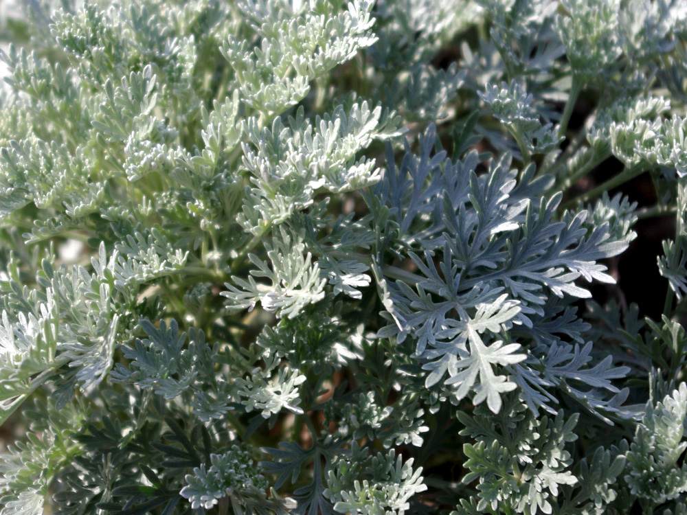 Pajūrinis kietis (Artemisia maritima L.)