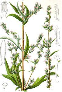 Paprastasis kietis (Artemisia)