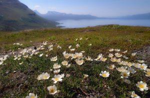 Kalnų gėlė