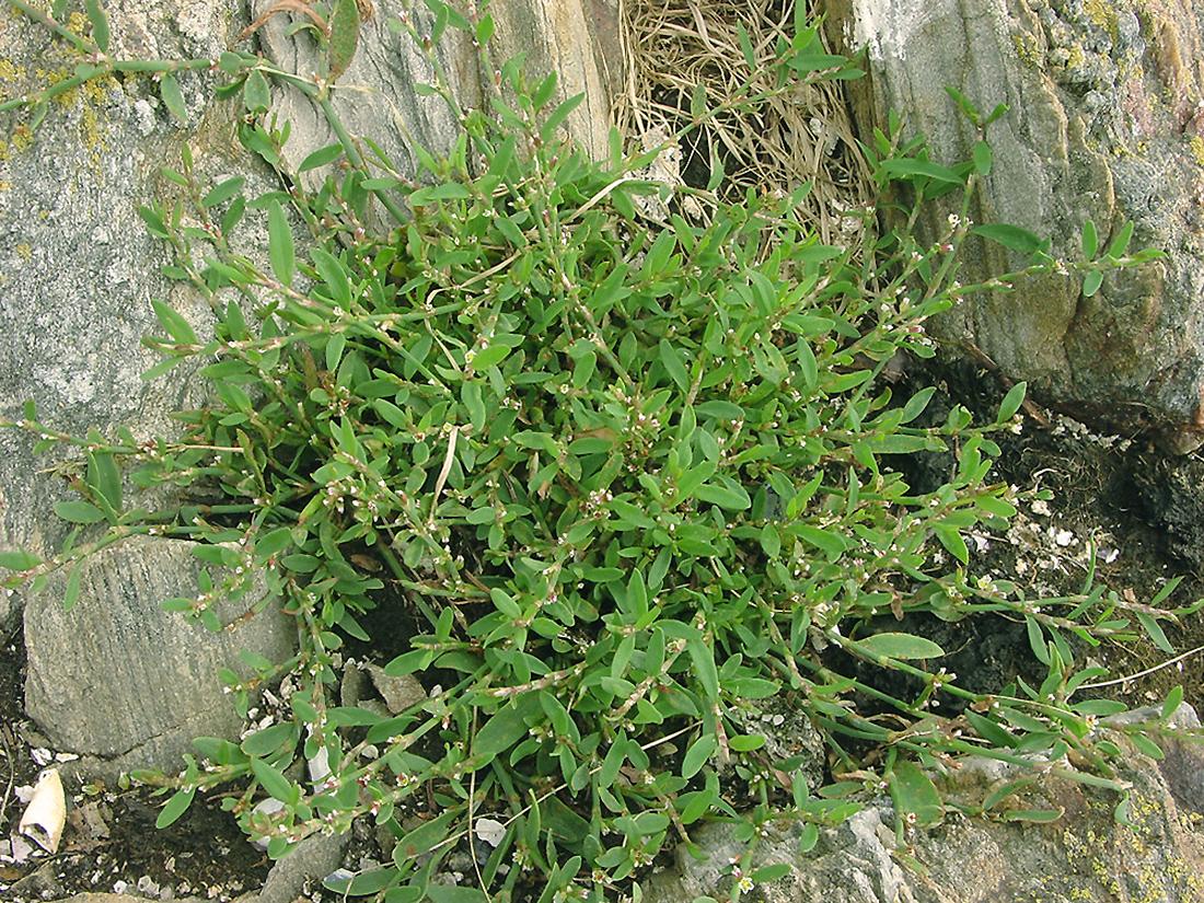 Augalas rūgtis takažolė