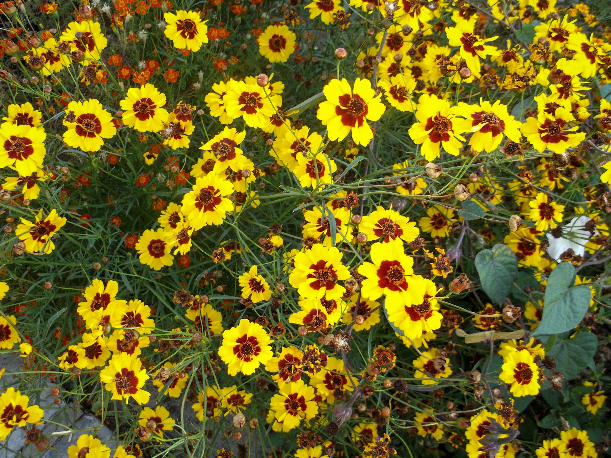 Gėlės gludai