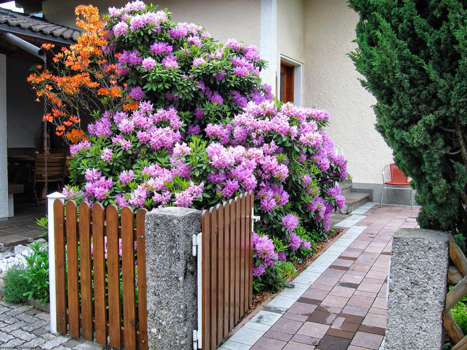 Dideli rododendrai