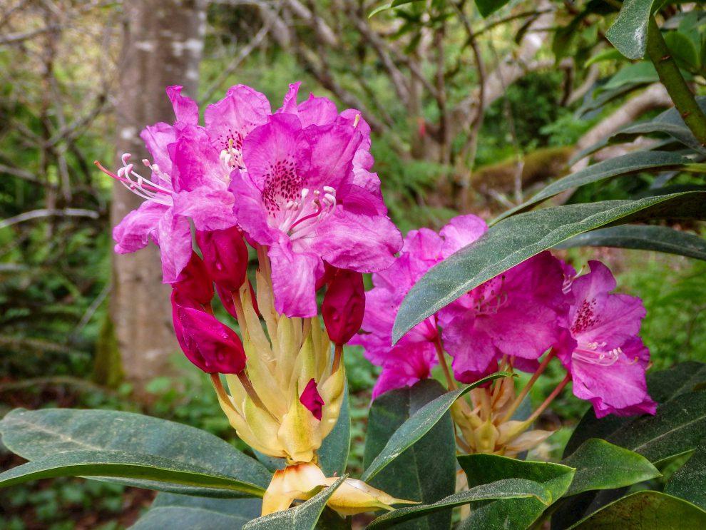 Gėlė rododendras