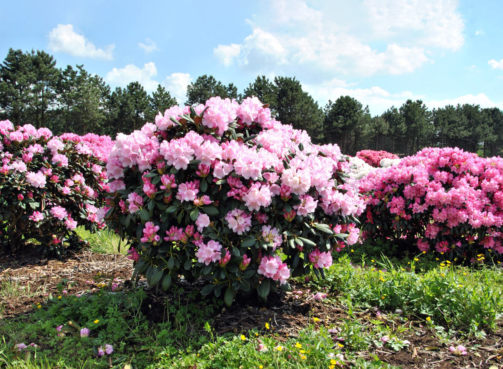 Japoninis rododendras