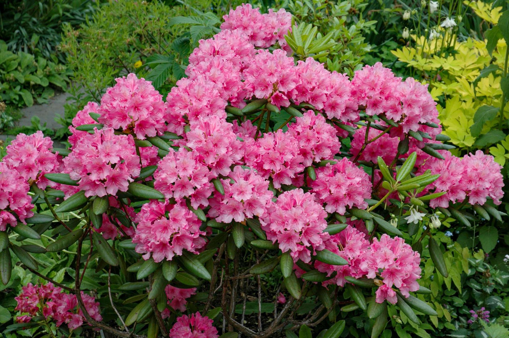 Rododendrai žydi