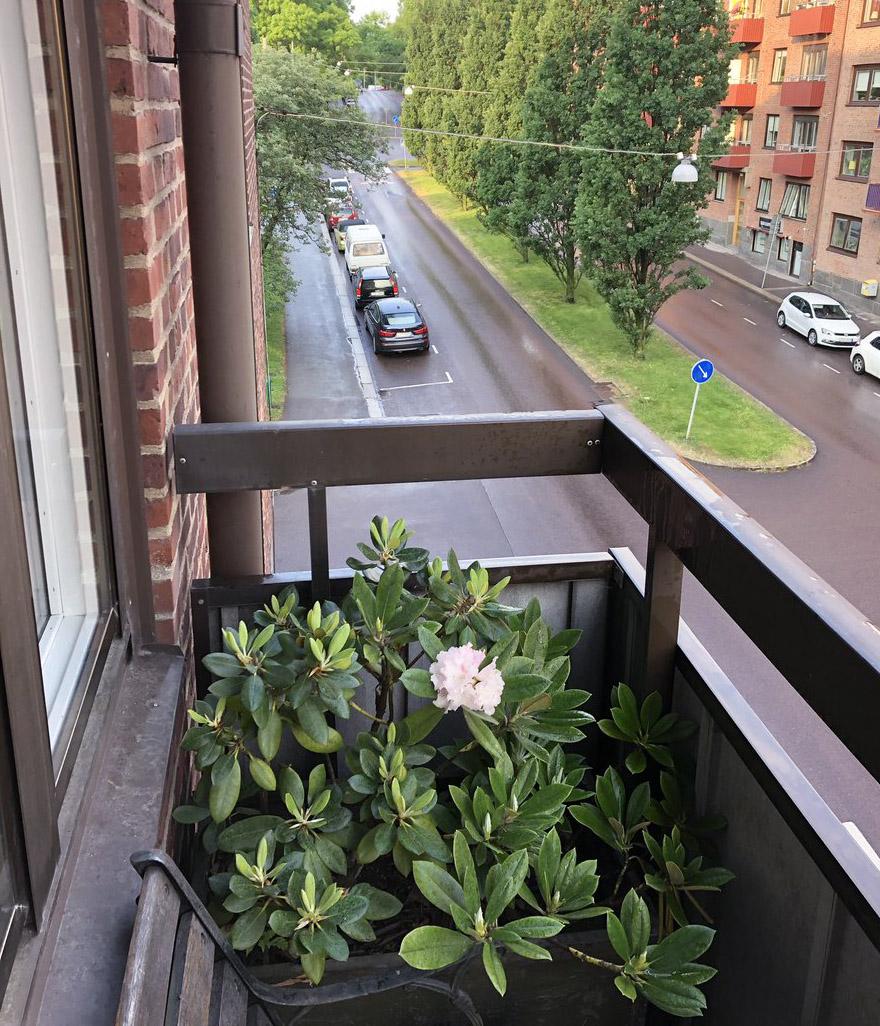 Rododendras balkone