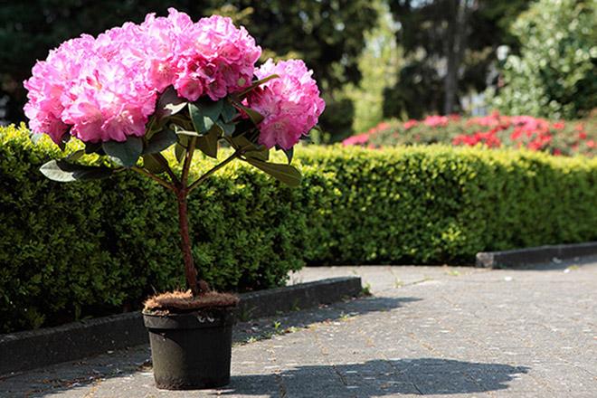 Rododendras vazone ant koto