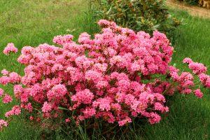 Rododendrų auginimas