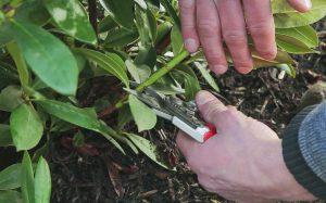 Rododendrų genėjimas