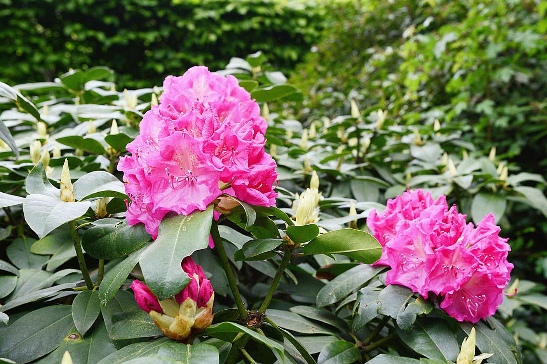 Rododendro krūmas