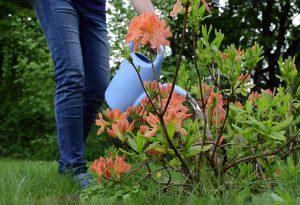 Rododendrų priežiūra (laistymas)