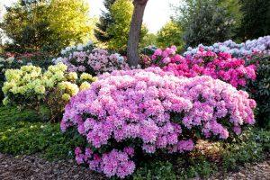 Rododendrų spalvos