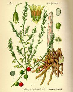 Vaistinis smidras botanikoje