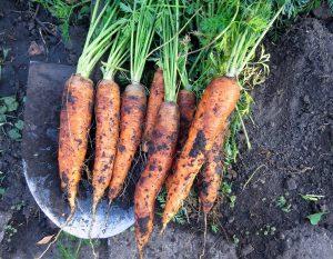 Didelės morkos
