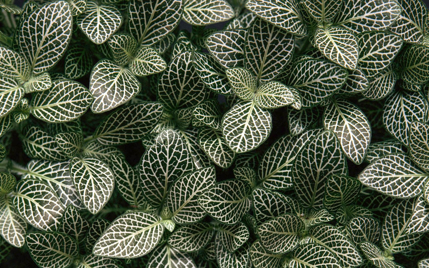 Fitonijos lapai