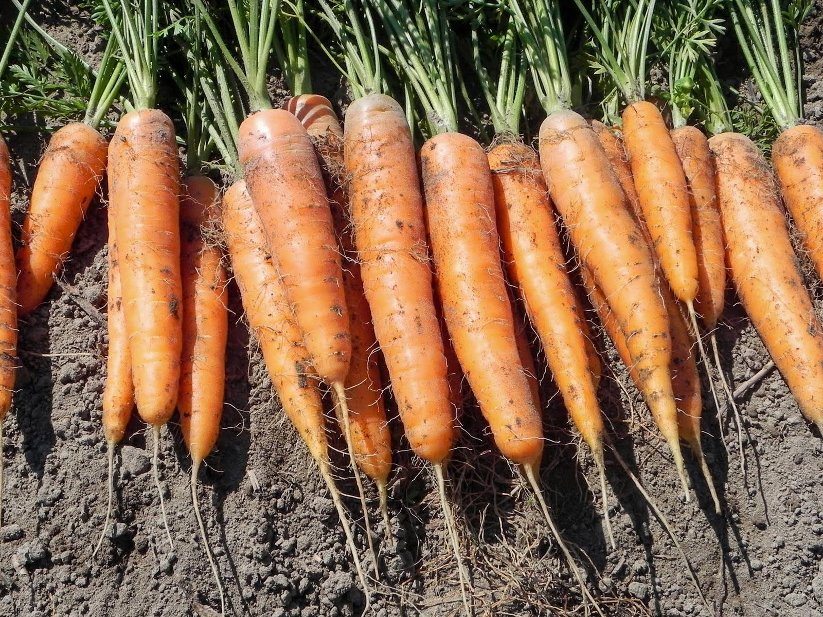 Naminės morkos