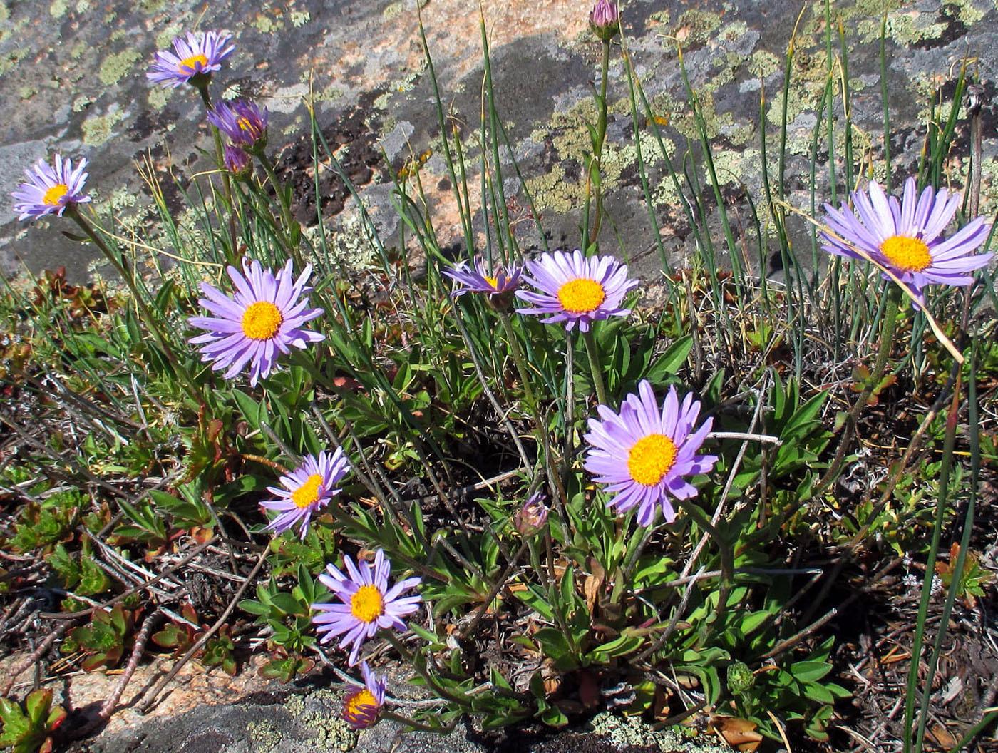 Alpinių astrų auginimas