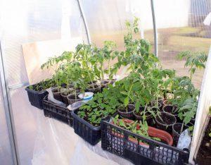 Sodinukų auginimas šiltnamyje