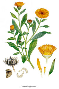 vaistinė medetka botanikoje