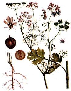Vaistinis augalas kalendra