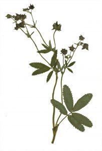 Augalas penkiapirštė sidabražolė