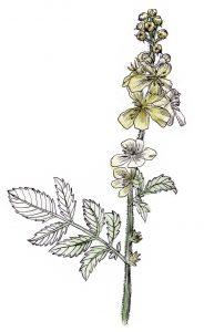 Augalas vaistinė dirvuolė