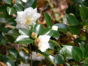 Gėlė (Camellia 'alba')