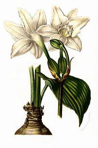 Grakštuolis (eucharis) botanikoje