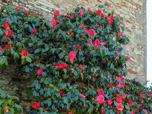 Japoninė kamelija 'camellia campbelli'