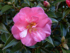 Kamelija (gėlė)