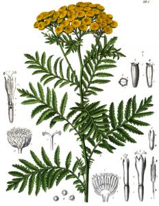 augalas paprastoji bitkrėslė