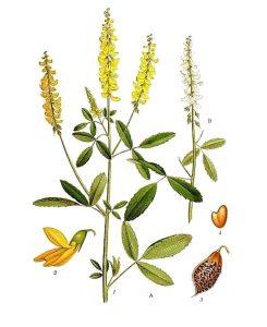 Vaistinis augalas geltonžiedis barkūnas