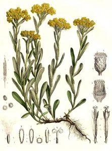 Vaistinis augalas katpėdėlė