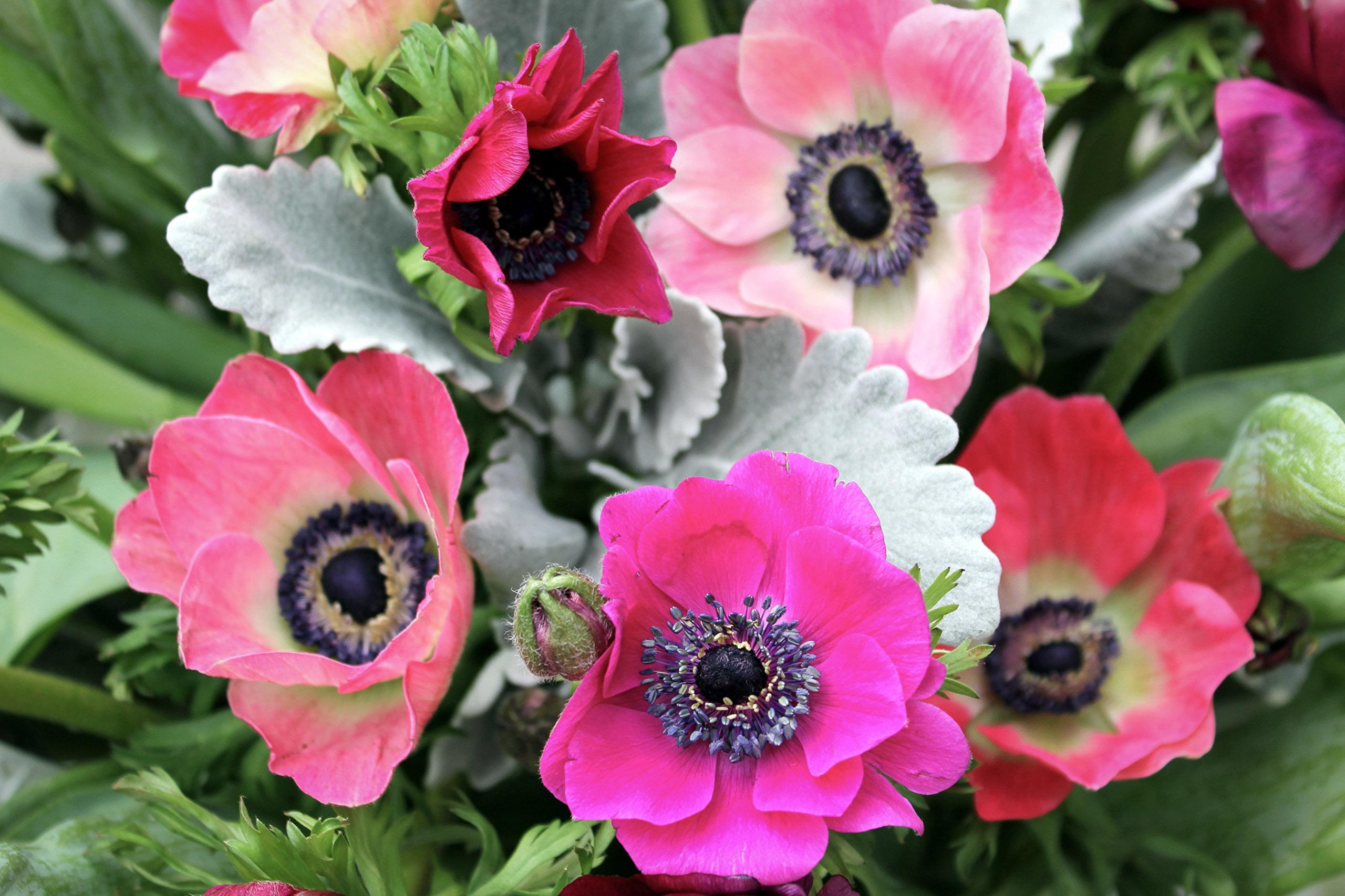 Gėlė anemonas