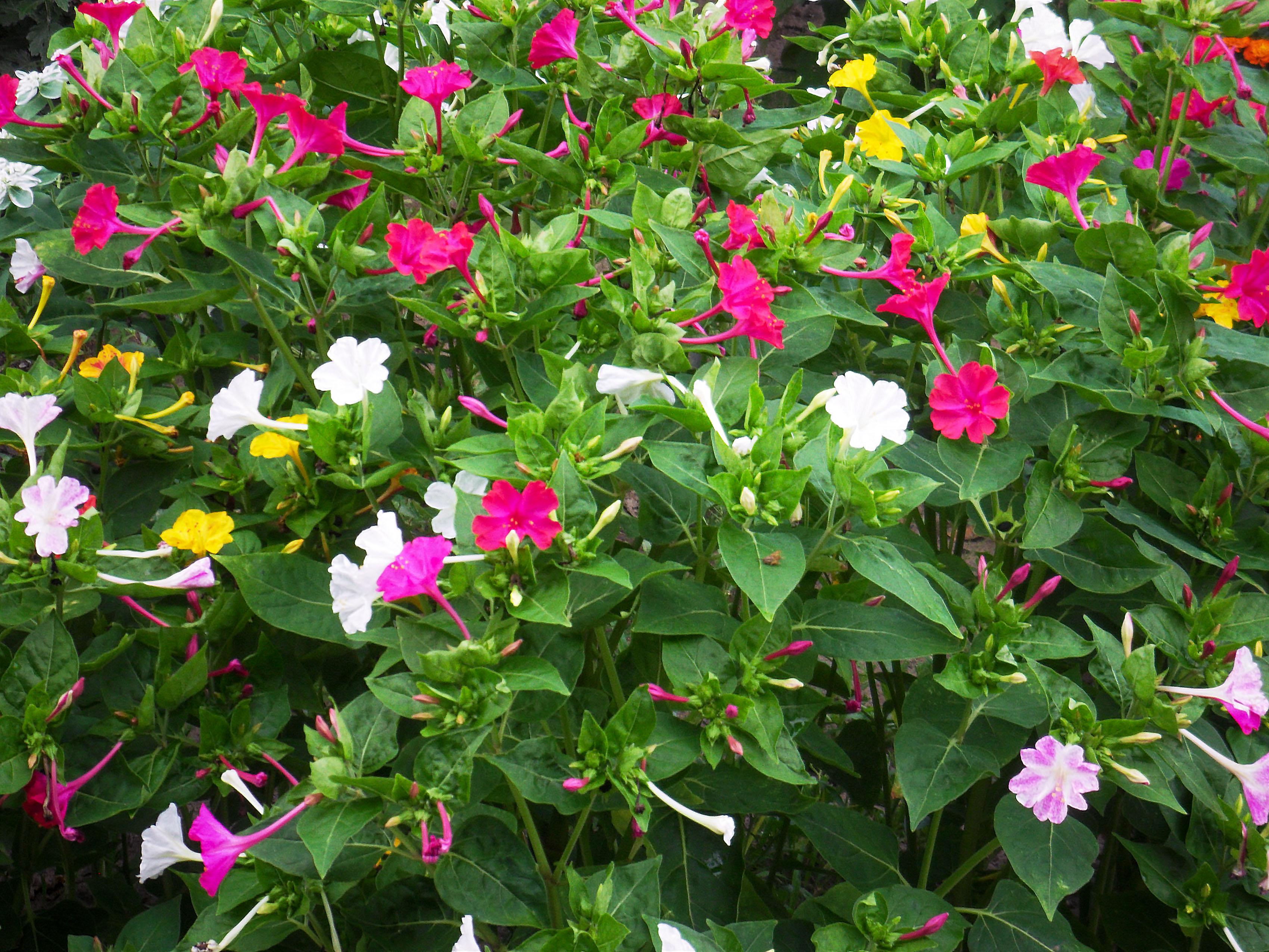 Gėlė vakarinė dyvinutė