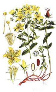 Jonažolė (Vaistinis augalas)