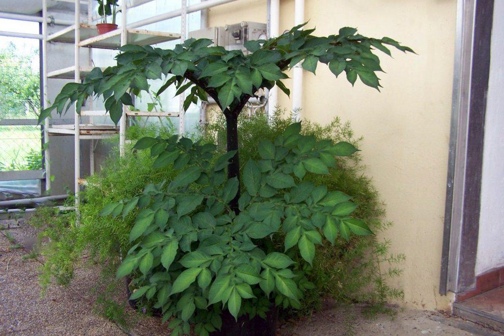 Tropinė gėlė amorfofalis
