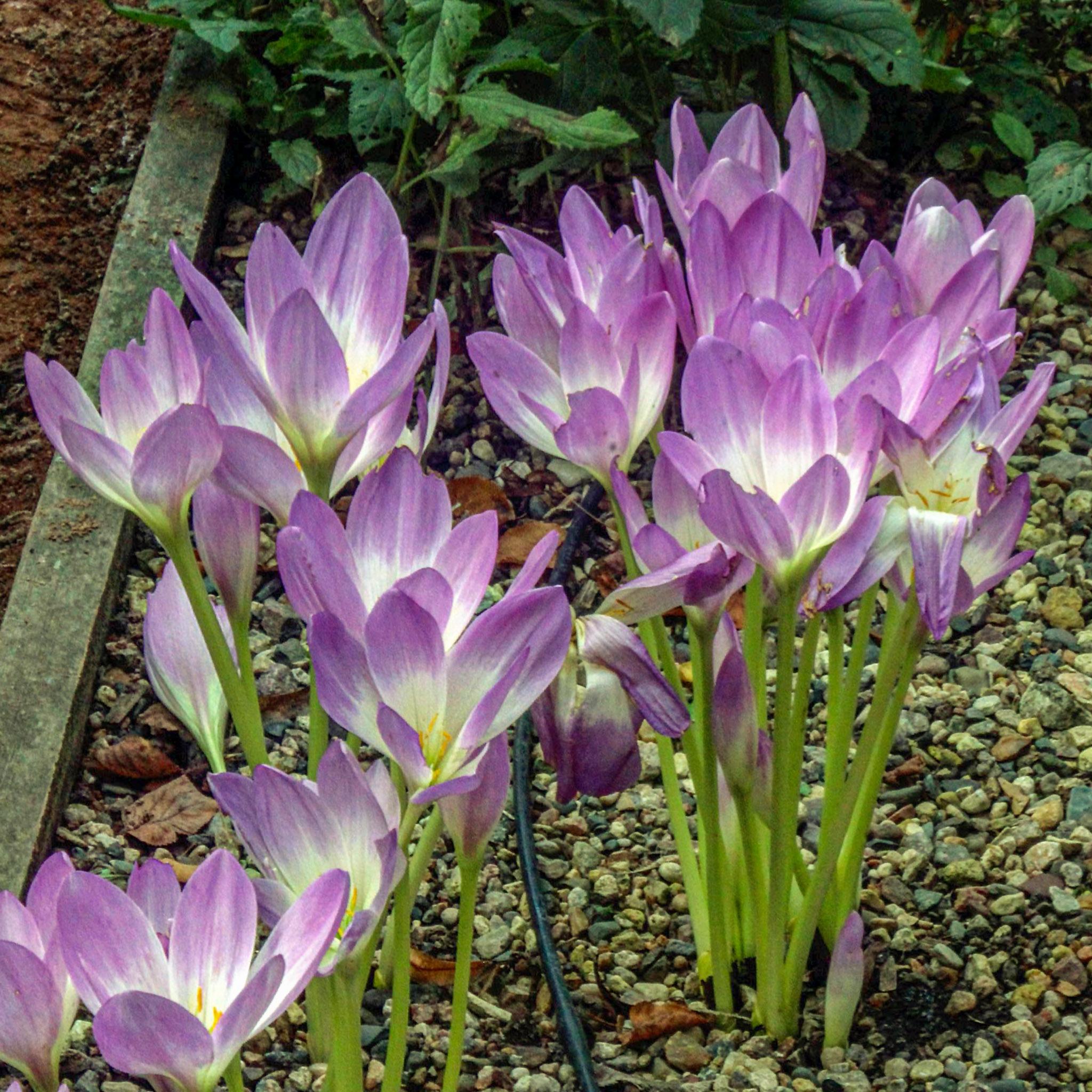 Vėlyviai gėlės