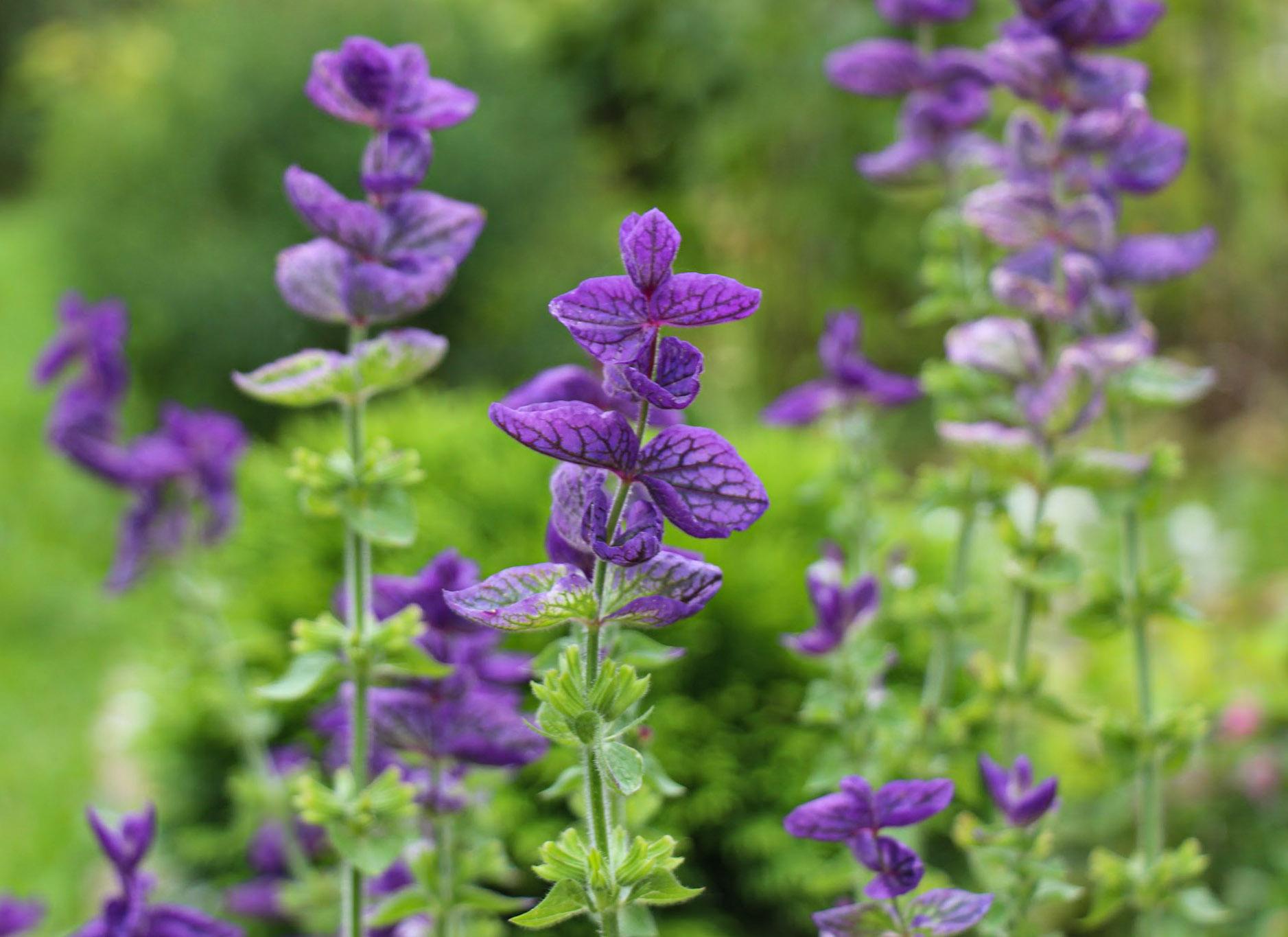 Violetiniai šalavijai