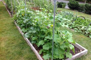 Agurkų auginimas