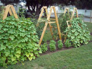 Agurkų auginimas lauke vertikaliai