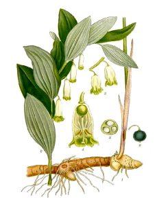 Baltašaknė (Vaistinis augalas)