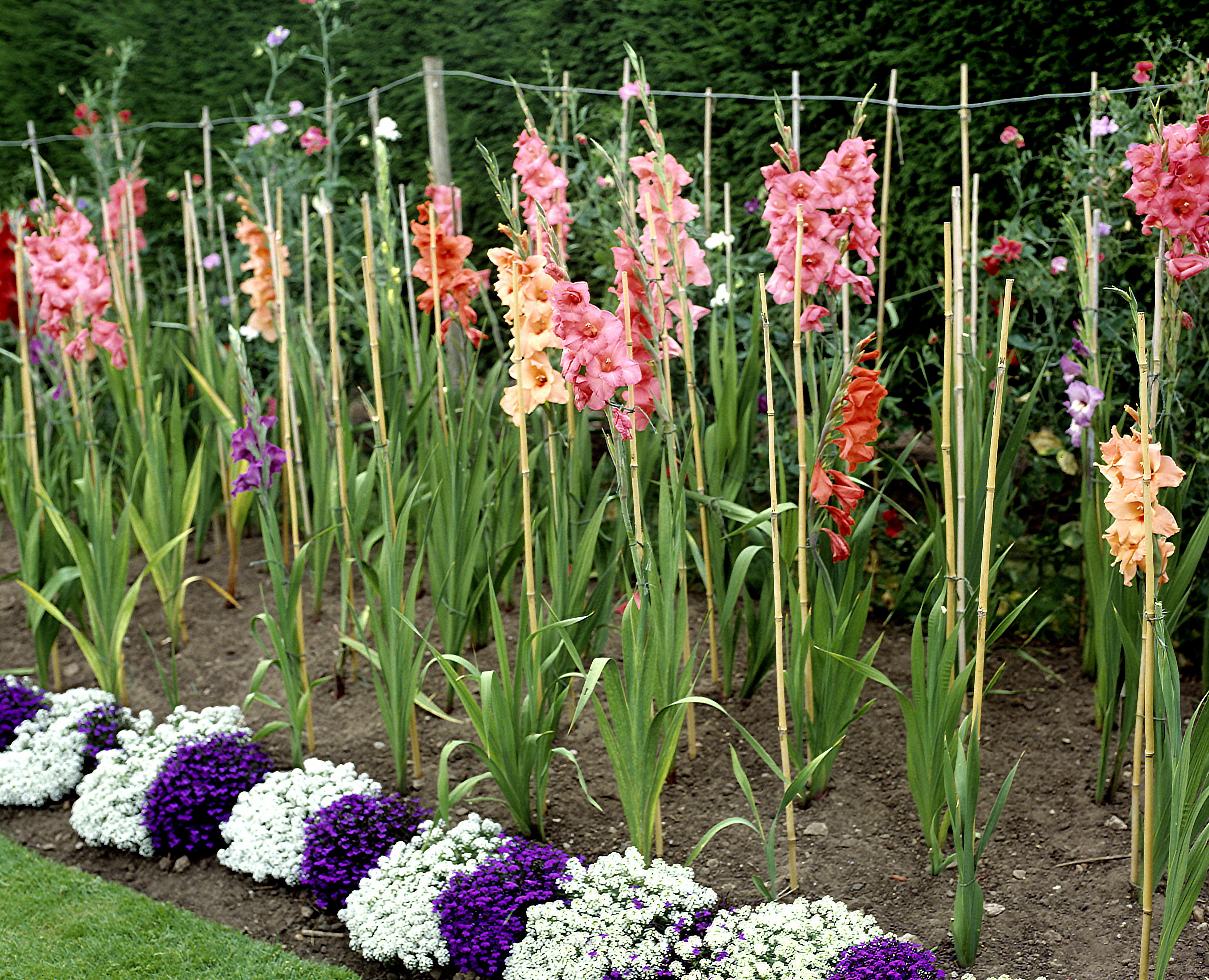Gėlė gladiolė