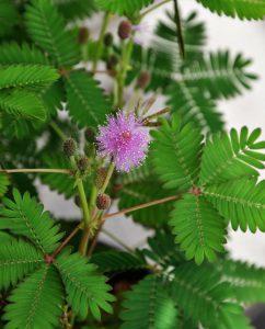 Gėlė 'mimosa pudica' (Jautrioji mimoza)