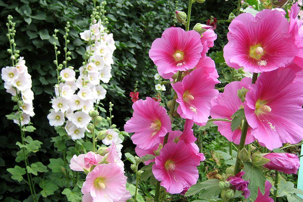 Gėlė piliarožė