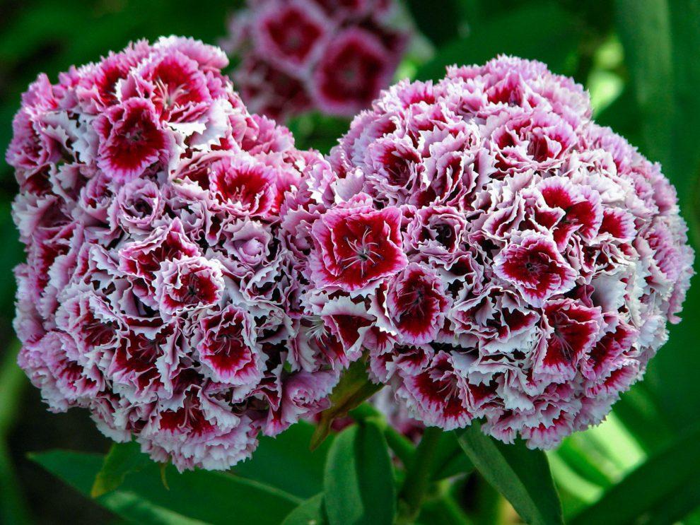 Gėlė šiurpė